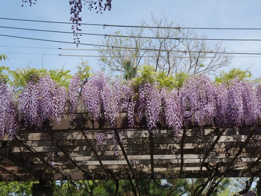 舞鶴公園 藤園(福岡) | 2020年福岡城藤まつり・見頃情報