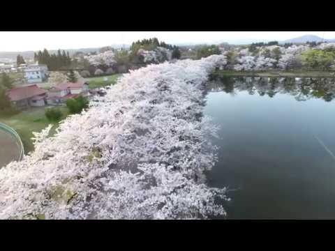 鷹巣中央公園(秋田) | 2020年桜祭り・夜桜ライトアップ・見頃情報
