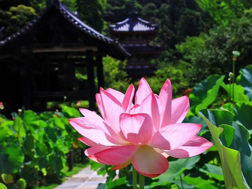 三室戸寺(京都) | 2020年はす祭り・見頃情報