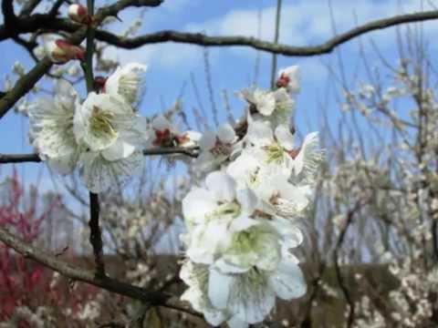 大阪府立花の文化園(大阪) | 2021年梅まつり・見頃情報