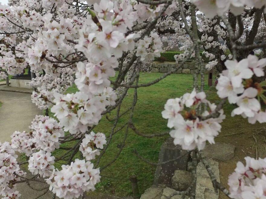 篠山城跡周辺(兵庫) | 2021年桜祭り・夜桜ライトアップ・見頃情報