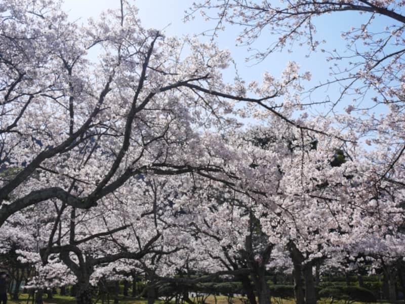 湊山公園(鳥取) | 2021年桜祭り・夜桜ライトアップ・見頃情報