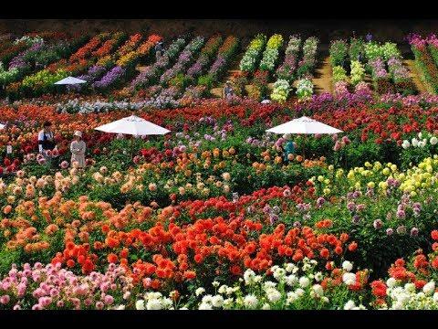 世羅高原農場(広島県世羅町) | 2021年ダリアのイベント・見頃情報
