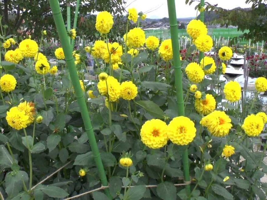 花の郷 日野ダリア園(滋賀県日野町) | 2021年ダリアのイベント・見頃情報